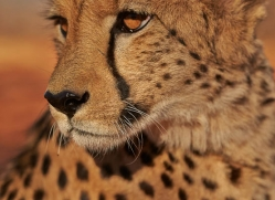 cheetah-4357-botswana-copyright-photographers-on-safari