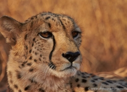 cheetah-4358-botswana-copyright-photographers-on-safari