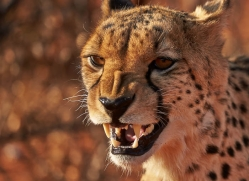 cheetah-4359-botswana-copyright-photographers-on-safari