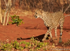 cheetah-4360-botswana-copyright-photographers-on-safari