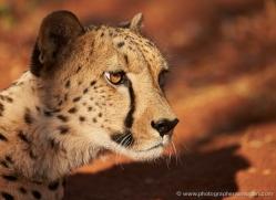 cheetah-4361-botswana-copyright-photographers-on-safari
