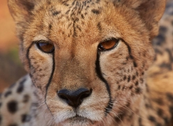 cheetah-4362-botswana-copyright-photographers-on-safari