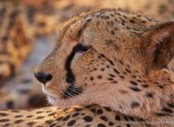 cheetah-4363-botswana-copyright-photographers-on-safari