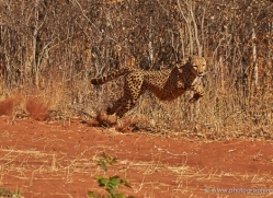 cheetah-4364-botswana-copyright-photographers-on-safari