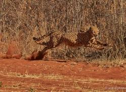 cheetah-4365-botswana-copyright-photographers-on-safari