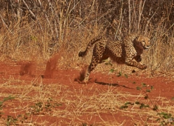 cheetah-4366-botswana-copyright-photographers-on-safari