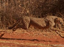cheetah-4367-botswana-copyright-photographers-on-safari