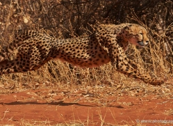 cheetah-4368-botswana-copyright-photographers-on-safari