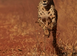 cheetah-4369-botswana-copyright-photographers-on-safari
