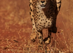 cheetah-4370-botswana-copyright-photographers-on-safari