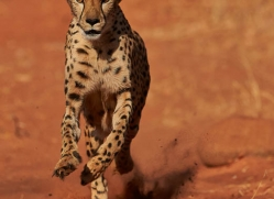 cheetah-4373-botswana-copyright-photographers-on-safari