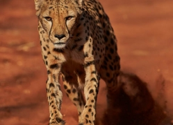 cheetah-4374-botswana-copyright-photographers-on-safari