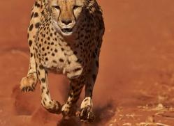 cheetah-4375-botswana-copyright-photographers-on-safari