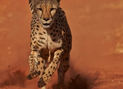 cheetah-4377-botswana-copyright-photographers-on-safari