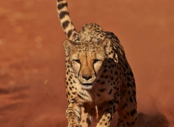 cheetah-4378-botswana-copyright-photographers-on-safari