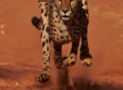 cheetah-4380-botswana-copyright-photographers-on-safari