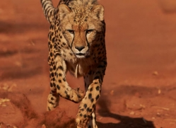 cheetah-4382-botswana-copyright-photographers-on-safari