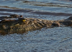 crocodile-4384-botswana-copyright-photographers-on-safari