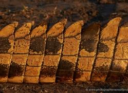 crocodile-4388-botswana-copyright-photographers-on-safari