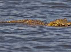 crocodile-4389-botswana-copyright-photographers-on-safari
