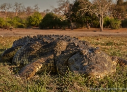 crocodile-4393-botswana-copyright-photographers-on-safari