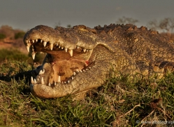 crocodile-4396-botswana-copyright-photographers-on-safari