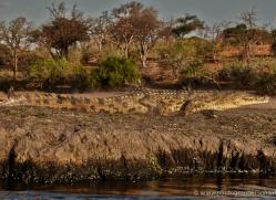 crocodile-4398-botswana-copyright-photographers-on-safari