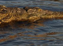 crocodile-4399-botswana-copyright-photographers-on-safari