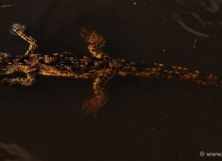 crocodile-baby-4401-botswana-copyright-photographers-on-safari
