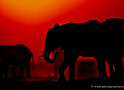 elephant-at-sunset-4402-botswana-copyright-photographers-on-safari