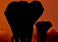elephant-at-sunset-4404-botswana-copyright-photographers-on-safari