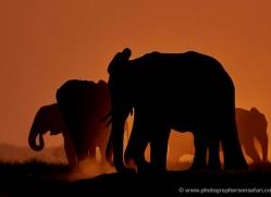 elephant-at-sunset-4406-botswana-copyright-photographers-on-safari