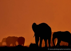 elephant-at-sunset-4407-botswana-copyright-photographers-on-safari