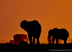 elephant-at-sunset-4408-botswana-copyright-photographers-on-safari