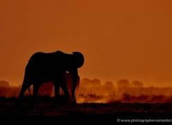 elephant-at-sunset-4410-botswana-copyright-photographers-on-safari