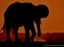 elephant-at-sunset-4411-botswana-copyright-photographers-on-safari