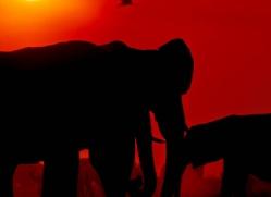 elephant-at-sunset-4419-botswana-copyright-photographers-on-safari