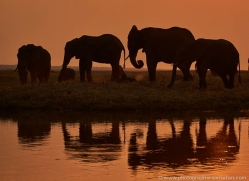 elephant-at-sunset-4421-botswana-copyright-photographers-on-safari