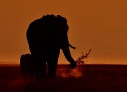 elephant-at-sunset-4424-botswana-copyright-photographers-on-safari