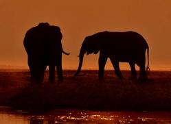 elephant-at-sunset-4425-botswana-copyright-photographers-on-safari