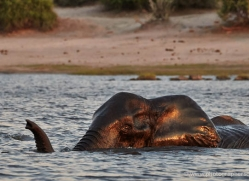 elephant-at-sunset-4428-botswana-copyright-photographers-on-safari