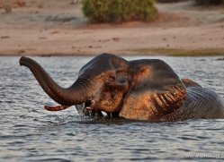 elephant-at-sunset-4430-botswana-copyright-photographers-on-safari