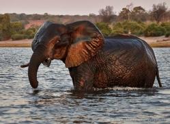 elephant-at-sunset-4432-botswana-copyright-photographers-on-safari