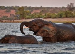 elephant-at-sunset-4433-botswana-copyright-photographers-on-safari