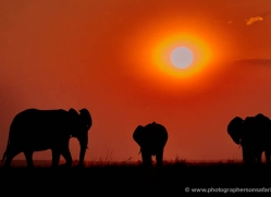elephant-at-sunset-4435-botswana-copyright-photographers-on-safari