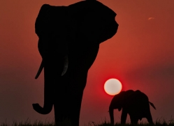 elephant-at-sunset-4436-botswana-copyright-photographers-on-safari