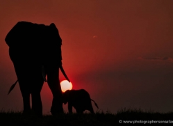 elephant-at-sunset-4437-botswana-copyright-photographers-on-safari