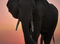 elephant-at-sunset-4438-botswana-copyright-photographers-on-safari