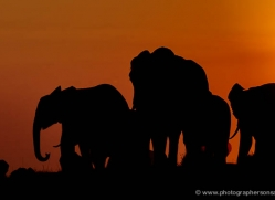 elephant-at-sunset-4441-botswana-copyright-photographers-on-safari