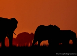 elephant-at-sunset-4442-botswana-copyright-photographers-on-safari